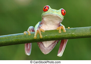 Red-eyed tree frog Agalychnis callidryas on a stem