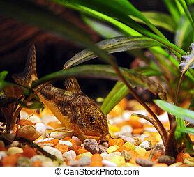 aquarium fish - Corydoras Catfish aquarium tropical fish