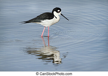 Black-necked Stilt Himantopus mexicanus with reflection in a...