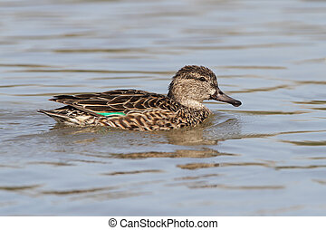 Female Green-winged Teal (Anas crecca) - Texas