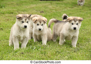 Group of Alaskan Malamute puppies standing on green grass