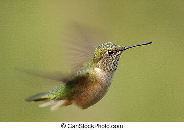 Broad-tailed hummingbird female Selasphorus platycercus