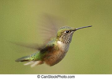 Broad-tailed hummingbird female Selasphorus platycercus