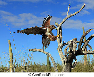 ferruginous hawk landing - A ferruginous hawk landing on a...