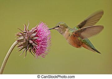 Broad-tailed hummingbird female Selasphorus platycercus...