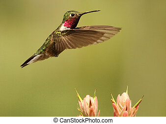 Broad-tailed hummingbird male (Selasphorus platycercus)