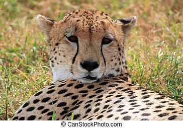 Cheetah Acinonyx Jubatus Portrait, Maasai Mara, Kenya