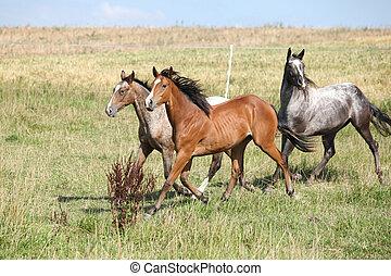 Three appaloosa horses running on pasturage in summer