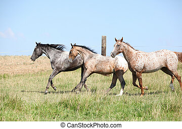 Nice appaloosa horses running on pasturage in summer