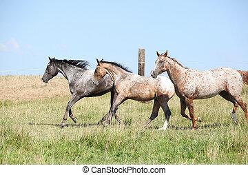 Nice appaloosa horses running on pasturage in summer