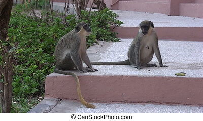 Monkeys on the steps of a hotel.