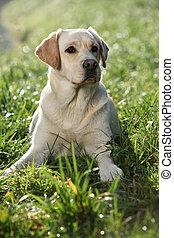 Labrador retriever sitting down in the backlight - Beautiful...