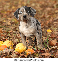 Louisiana Catahoula puppy with pumpkins in Autumn - Adorable...