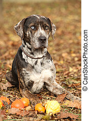 Louisiana Catahoula dog with small pumpkins in Autumn - Nice...