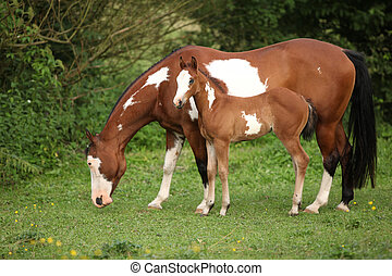 Paint horse mare with adorable foal on pasturage in summer