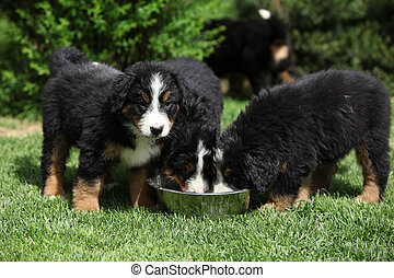 Three Bernese Mountain Dog puppies drinking water