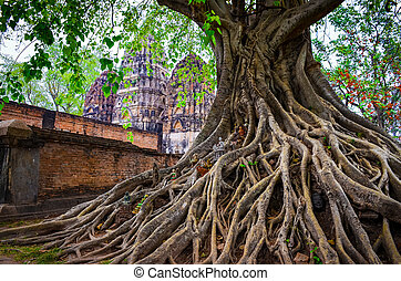 Tree roots in Sukhothai historical park with temple...