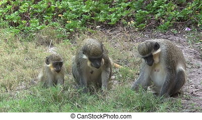 Family of monkeys looking for food.