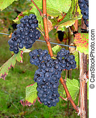 french grapes Pinot noir in Alsace - Close up of french red...