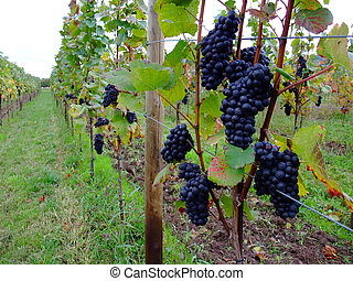 grapes Pinot noir in Alsace - french red bunch grapes Pinot...