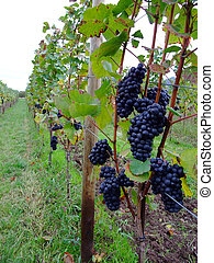 french grapes Pinot noir in Alsace region - french red bunch...