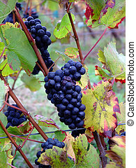 details of french grapes Pinot noir in Alsace - details of...