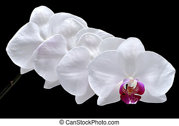 Phalaenopsis orchid - Closeup of four beautiful blooming...