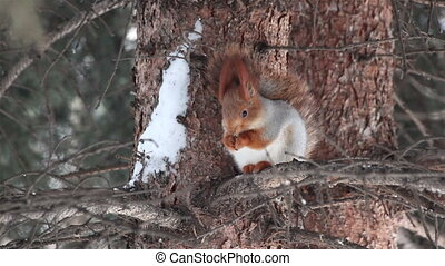 Squirrel sits on a pine