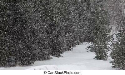 Snowfall amid the pines.