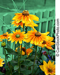 Yellow coneflowers (Echinacea)  on emerald background