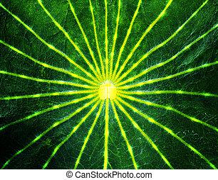 Lotus leaf. - Close-up lotus leaf.