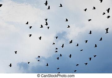flock of jackdaws