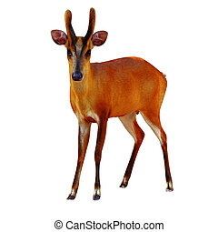 Barking deer - Barking deer on a white background