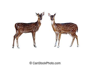 Axis deer.