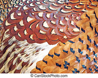 Feathers of the pheasant - Many-coloured feathers of the...