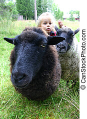 Sheep in meadow - Two sheep on a cold summer day in Sweden,...