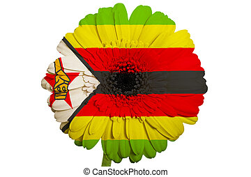 gerbera daisy flower in colors national flag of zimbabwe on white background as concept and symbol of love, beauty, innocence, and positive emotions
