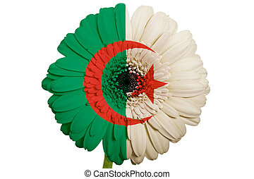 gerbera daisy flower in colors national flag of algeria on white background as concept and symbol of love, beauty, innocence, and positive emotions