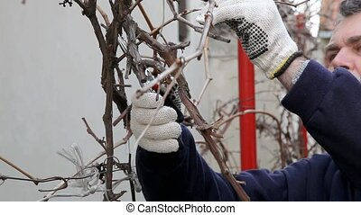 Agriculture - Pruning grape plant in vineyard in spring