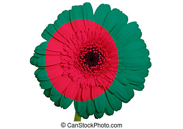 gerbera daisy flower in colors national flag of bangladesh on white background as concept and symbol of love, beauty, innocence, and positive emotions
