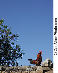 Rooster standing on a wall