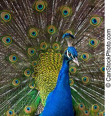 Close-up shot of a peacock