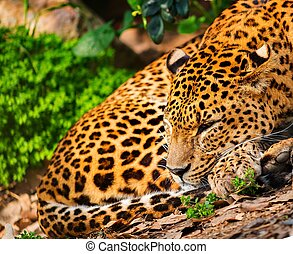 Gorgeous leopardess in natural habitat