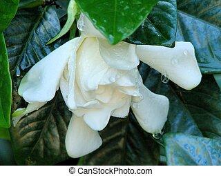 sad wet white flower - open white pedal flower is covered...