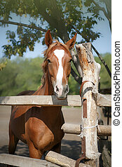 brown horse - majestic brown horse in stable Brown horse...