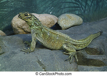 Zoology - female Sailfin Lizard