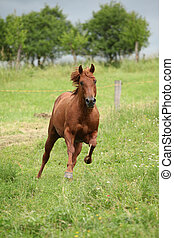 Nice Quarter horse stallion running on pasturage before a...