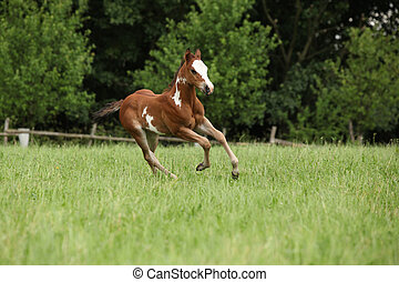 Nice Paint horse filly running on pasturage in summer