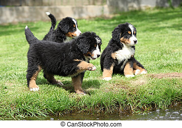 Three Bernese Mountain Dog puppies playing