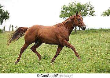 Nice Quarter horse stallion running on pasturage in summer